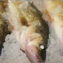 Pickerel (Walleye)