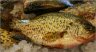 crappies-2
